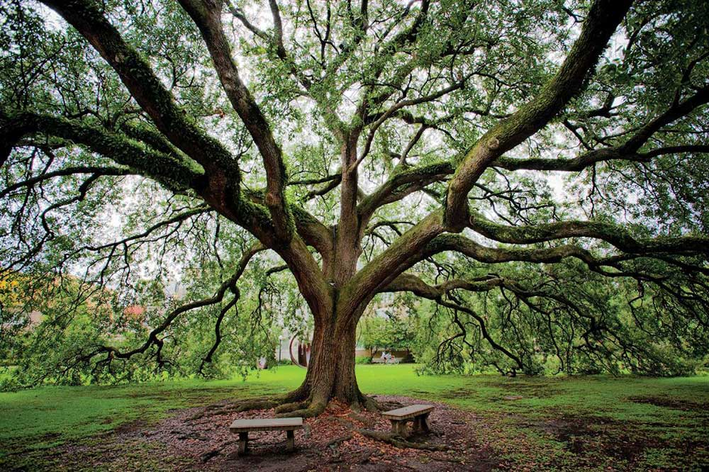 Tulane Oak Tree